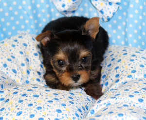 Yorkshire Farms West Virginia Yorkshire Terrier Breeder Yorkie